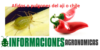 Aphis gossypii, Macrosiphum euphorbiae, y Myzus persicae)