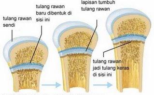 Pengertian Tulang Rawan