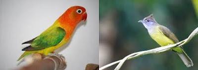 Lovebird isian cucak jenggot, lovebird cucak jenggot