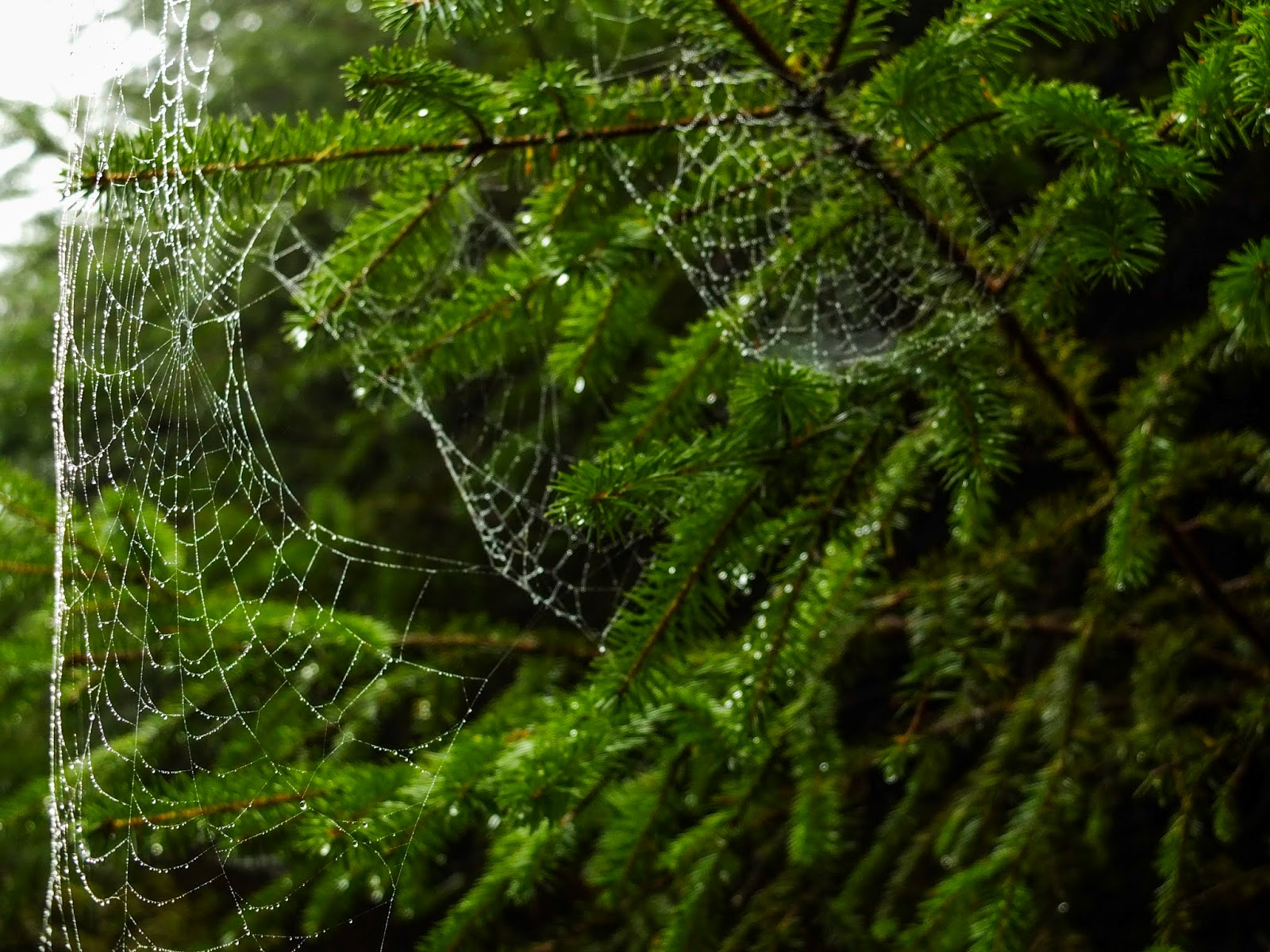 Spider webs on conifer branches in the woods.