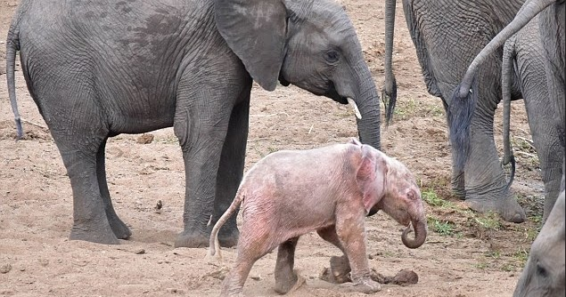 "White Wolf : Adorable baby ""Pink"" elephant is at home with ..."