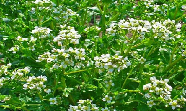 Cocleária (Cochlearia officinalis L.)