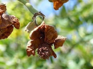 Baobab digité - Arbre bouteille - Adansonia digitata - Arbre à palabre