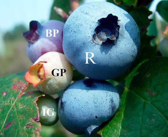 https://www.banggood.com/30PCS-Bonsai-Blueberry-Seeds-Garden-Fruit-Plant-p-927899.html?VU10125254322014040A