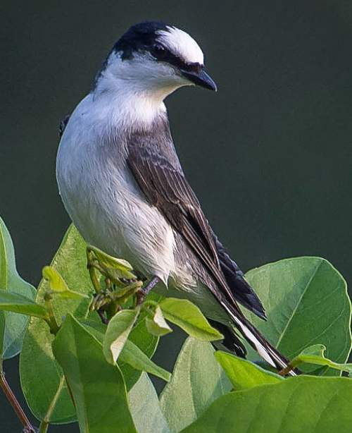 Indian birds - Picture of Ashy minivet - Pericrocotus divaricatus