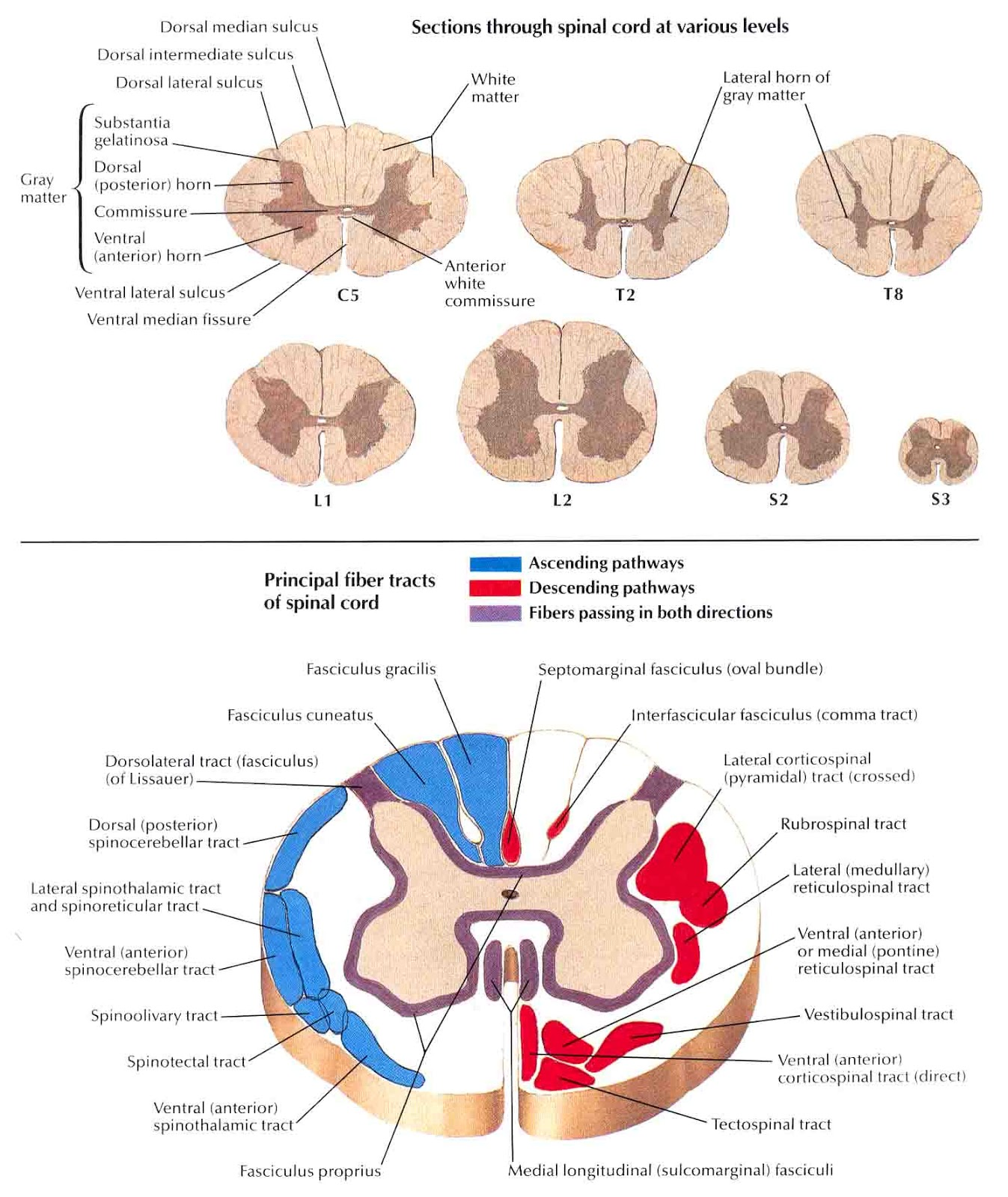 Cross Section Spinal Cord Diagram Labeled 3 Ways Switch Wiring Srna Daily Review Central Nervous System Physiology