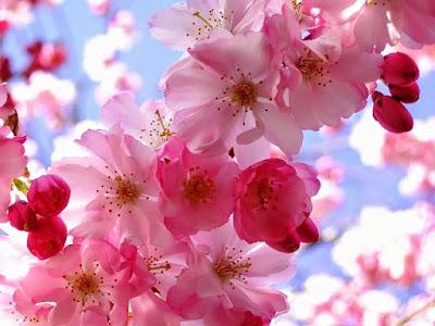 Bunga Tercantik di Dunia-Sakura-Jepang