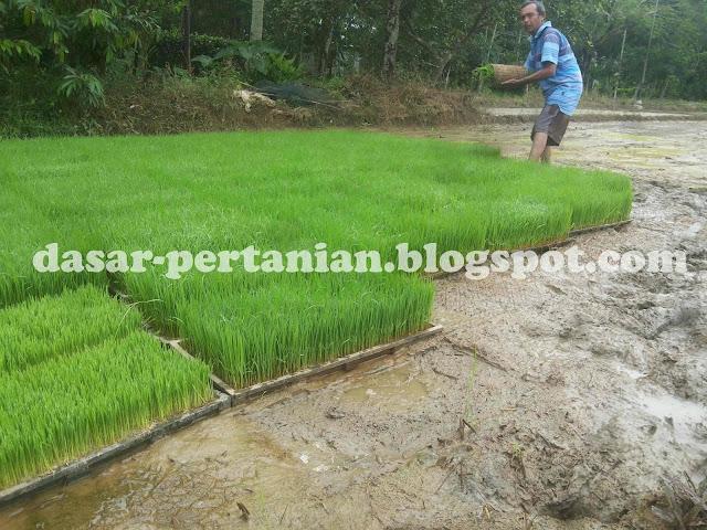 Menanam padi dengan mesin penanam padi modern