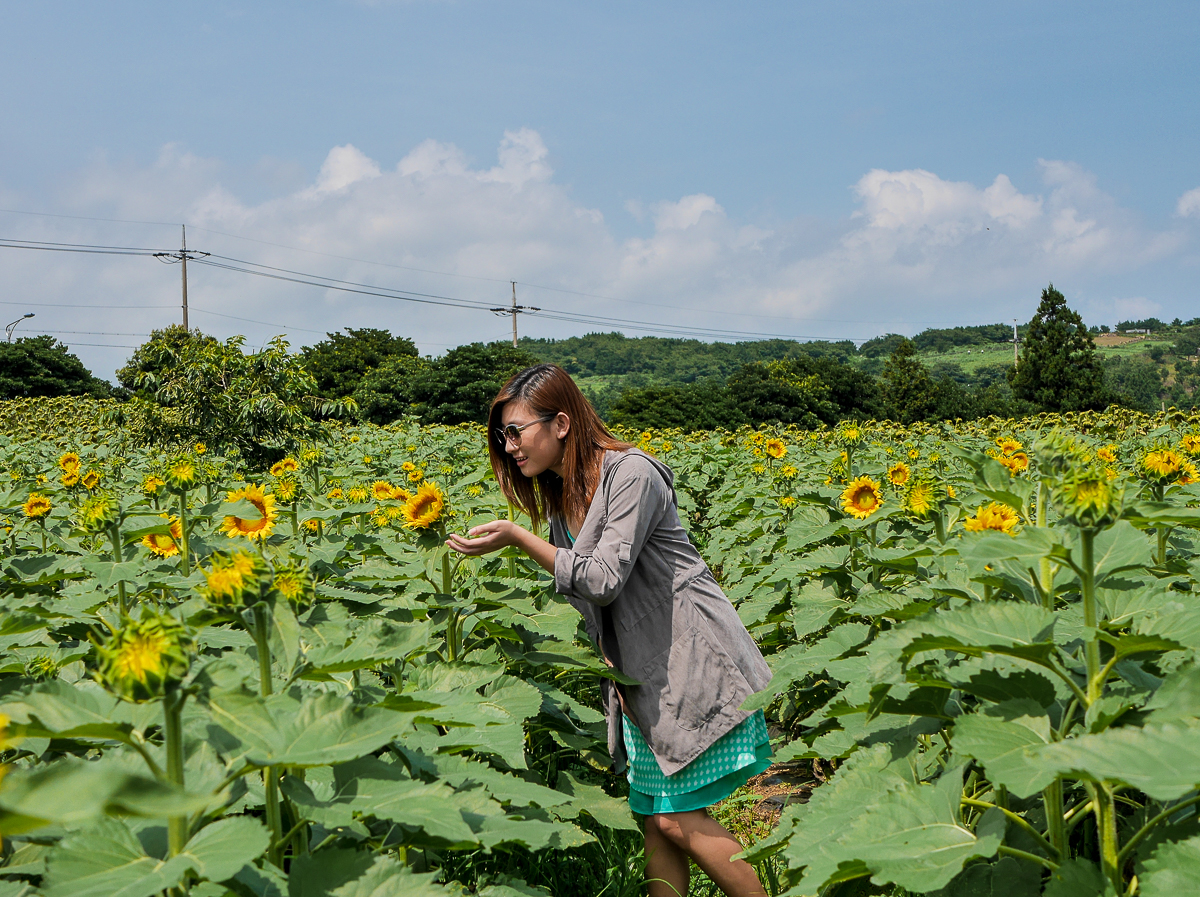 sunflower field jeju korea