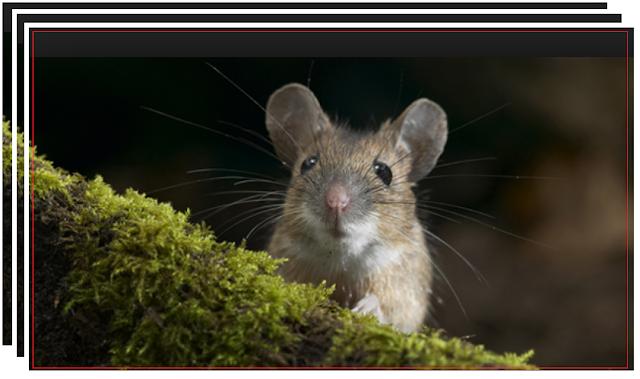 Cara Ampuh Mengusir Tikus Rumahan