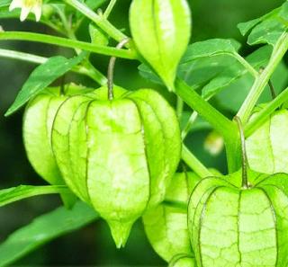 manfaat buah dan daun ciplukan