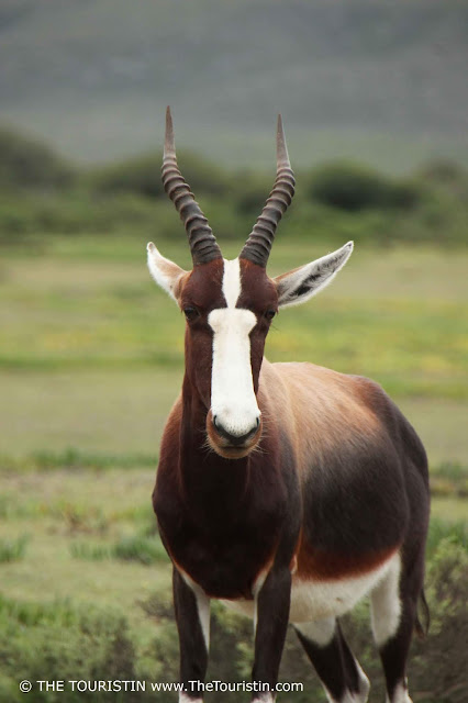 A Bontebok at De Hoop Nature Reserve in South Africa.