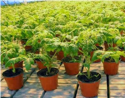 как вырастить хорошую рассаду, уход за рассадой,закаливание рассады