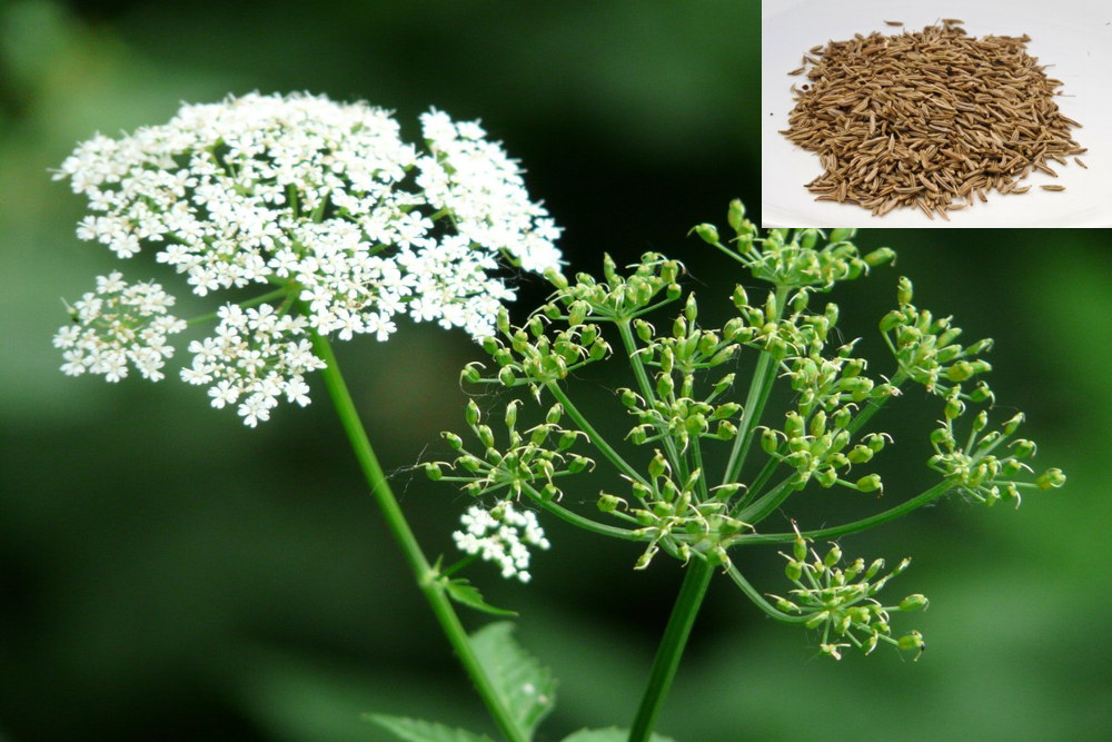 Caraway seed nutrition facts, medicinal properties and health benefits