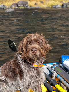 Wirehaired Griffon on the Grande Ronde
