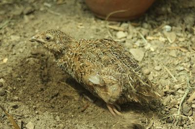 Organic coturnix quai juvenile