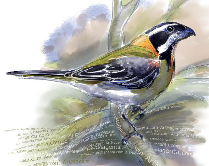 Puerto Rican Spindalis sketch painting. Bird art drawing by illustrator Artmagenta