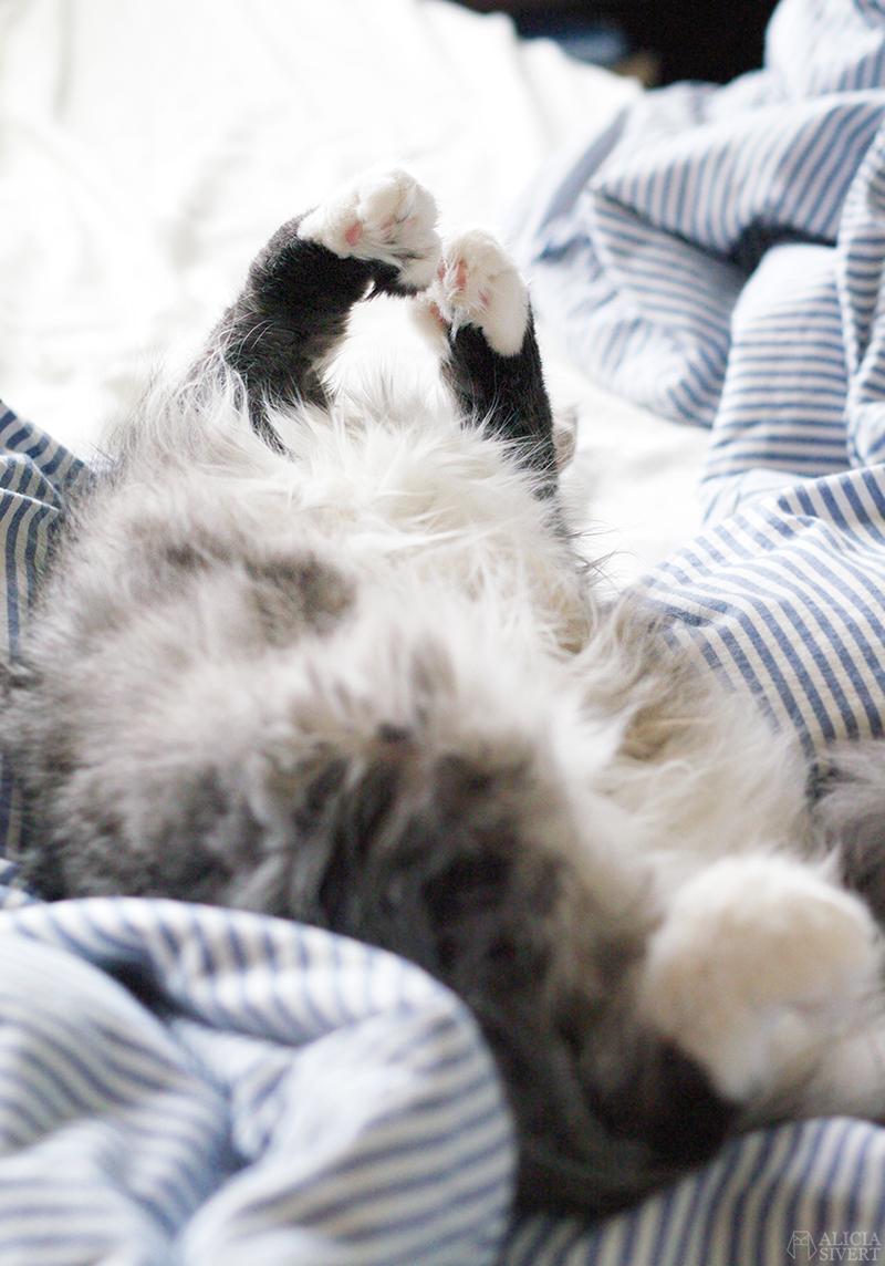 aliciasivert alicia sivert alicia sivertsson katt cat katten tofslan sover mage päls tassar paws fluffigt fluffig