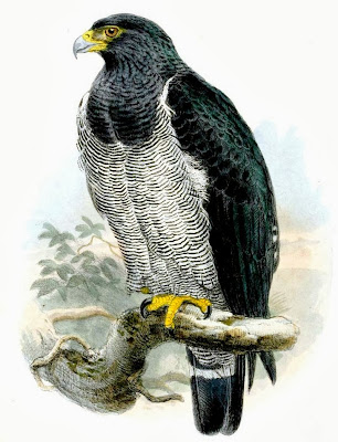 Busardo listado Morphnarchus Leucopternis princeps barred hawk
