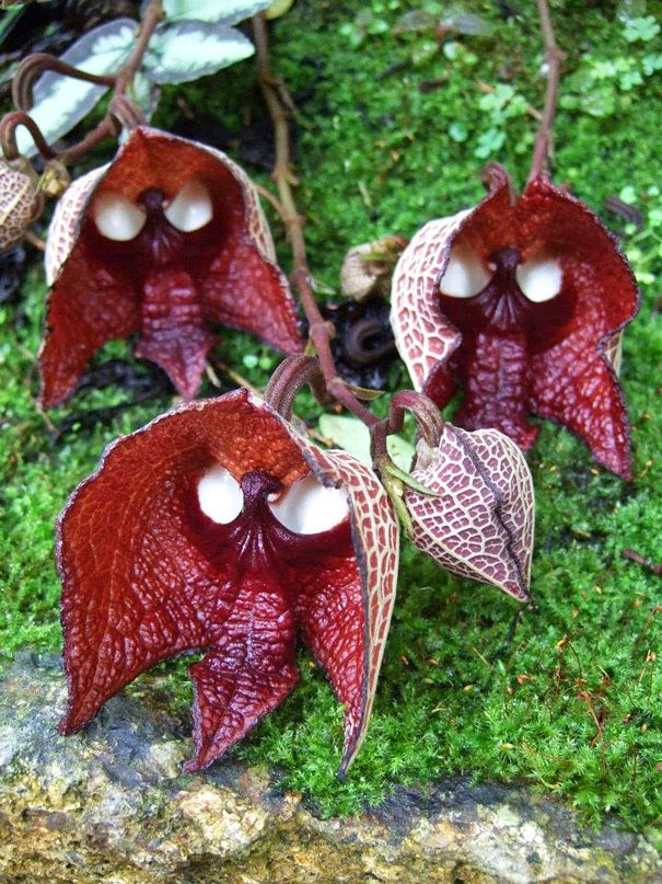 Darth Vader (Aristolochia Salvadorensis) - 17 Flowers That Look Like Something Else