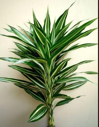 Dracaena Sanderiana Agavaceae