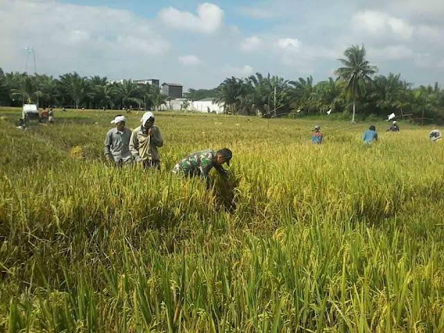 Panen Padi  di Desa Kampung Kelapa, Serda Herman Lakukan Pendampingan