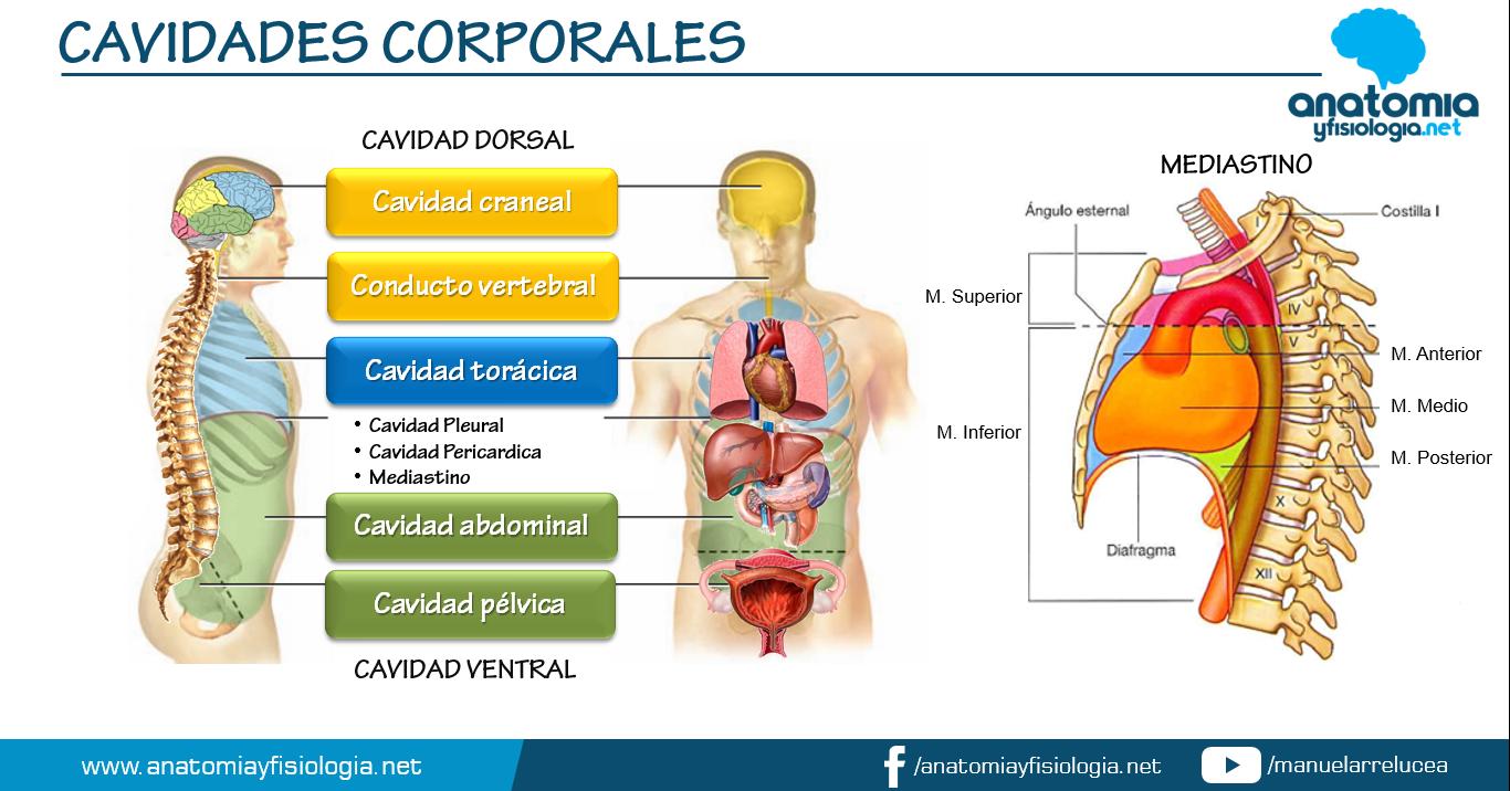 Anatomía y Fisiología: CAVIDADES CORPORALES