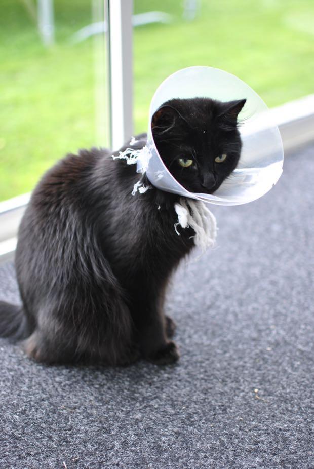 svart katt simba
