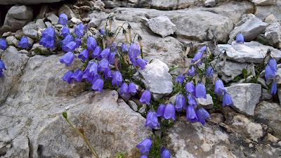 Campanula cochleariifolia – Earleaf bellflower (Campanula con foglie di coclearia)