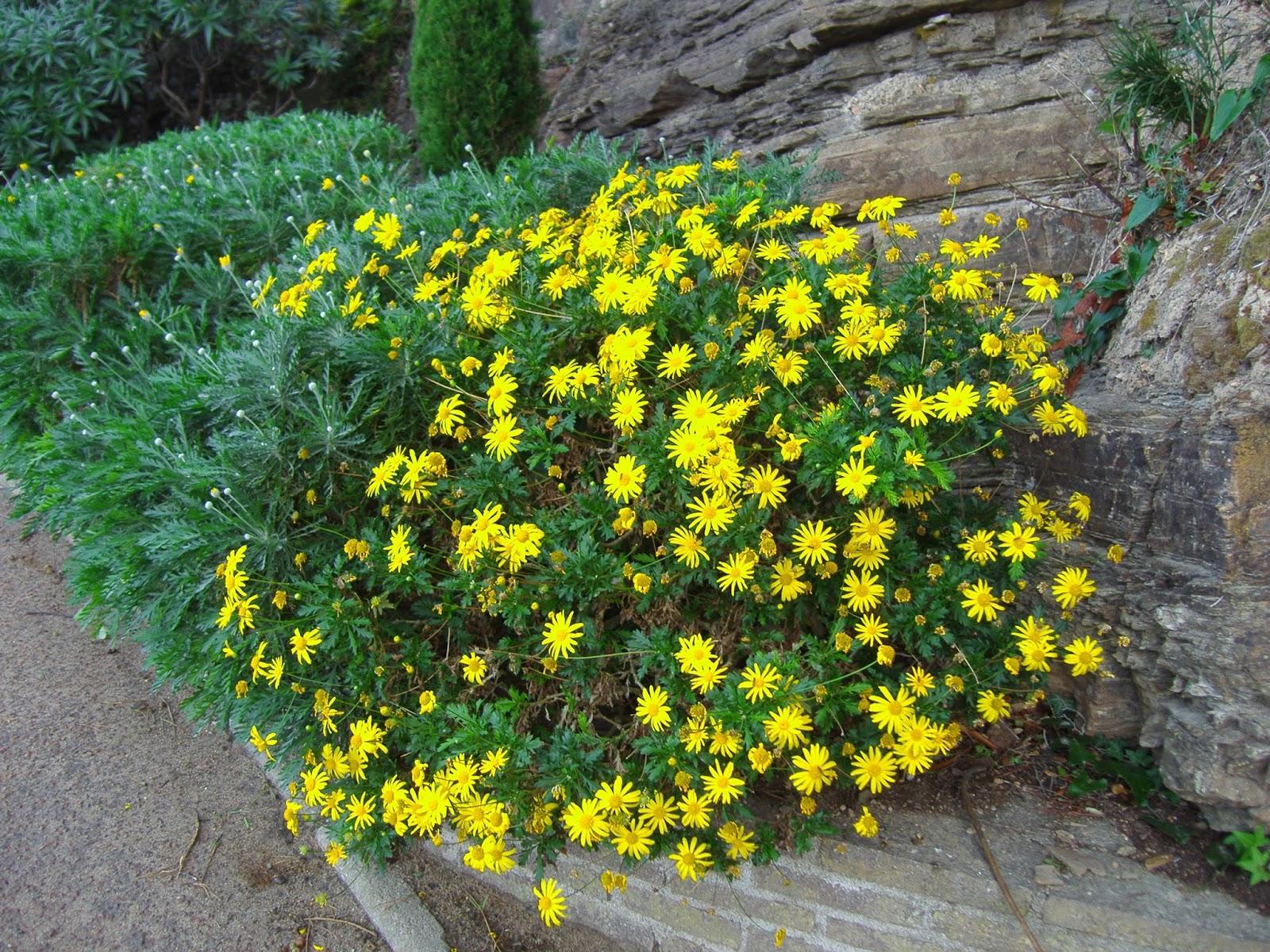 Euryops pectinatus margarita amarilla descripci n - Cuidado de jardines ...