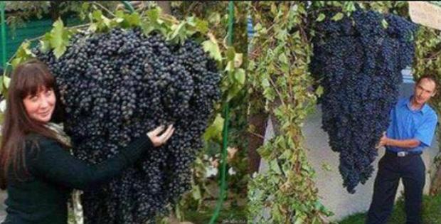 Cacho de uvas gigantes de Israel