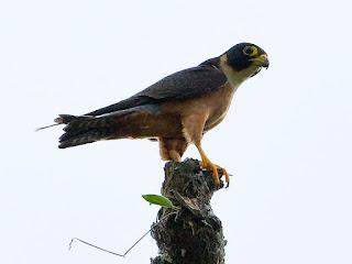 Burung Alap-Alap