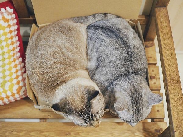 猫がみちみちに詰まって今にも張り裂けそうな箱