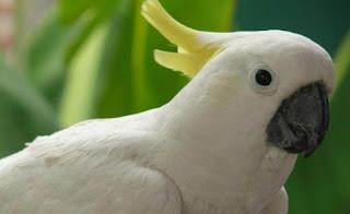 Makna, Lirik dan Arti Lagu Burung Kakatua