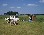 Foto koeien in de wei. Bron: http://www.deltares.nl/publication/meetnet-nutrienten-landbouw-specifiek-oppervlaktewater