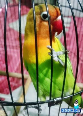 Atasi Lovebird balibu kepo digantangan