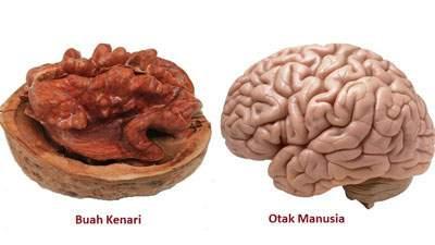 bentuk buah kenari mirip otak, buah kenari, kacang walnut, kacang kenari, otak manusia, makanan otak
