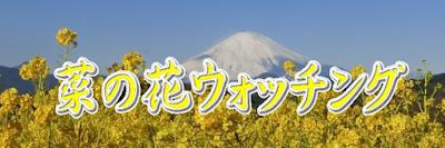 吾妻山:菜の花