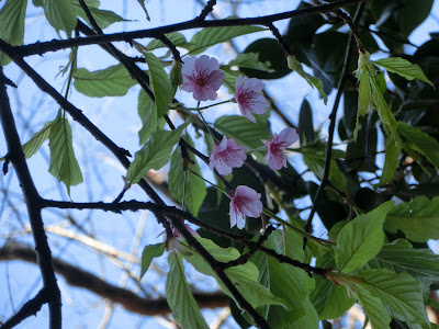 江の島の玉縄桜