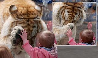 tigru bebe zoo