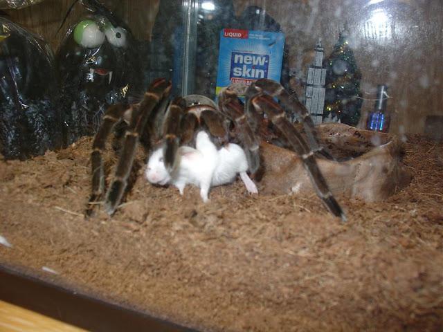 Aranha Theraphosa blondi devorando um rato