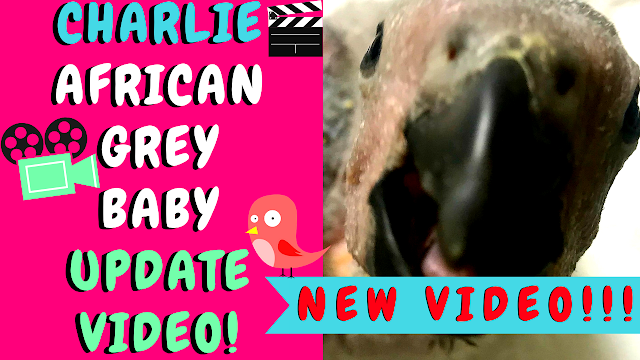 BABY TIMNEH AFRICAN GREY UPDATE VIDEO PARROTS CHICKS PEACHES AND THE FLOCK PEACHES THE COCKATOO