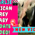 Charlie the Baby Timneh African Grey at 8 weeks old—Video Included