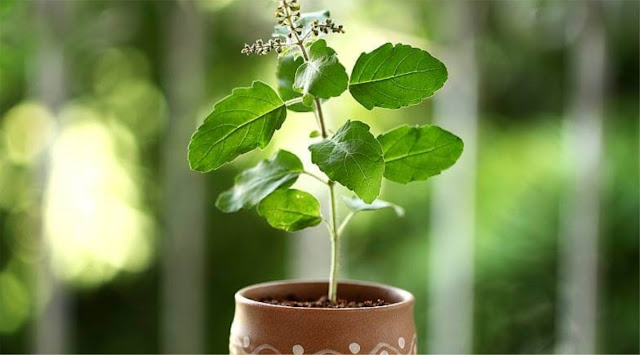 Top Benefits and Uses of Tulsi (Holy Basil)
