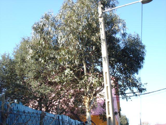 arbres eucaliptus eucalyptus camaldulensis dehnh. Black Bedroom Furniture Sets. Home Design Ideas
