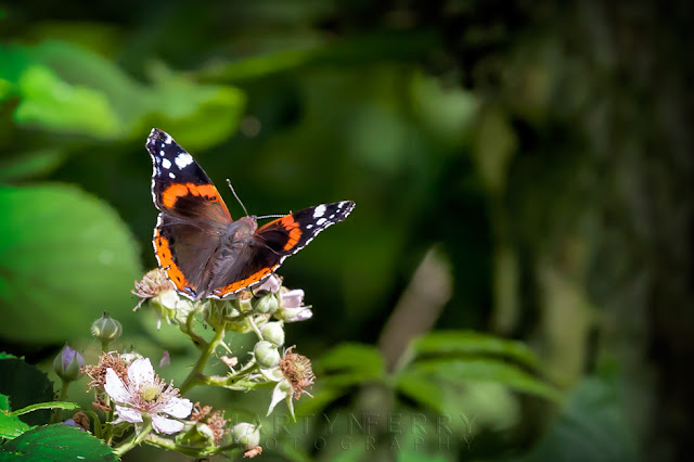 Colourful display of a red admiral butterfly on some flowers
