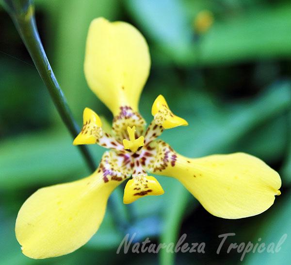 La flor del Iris amarillo, Trimezia sincorana