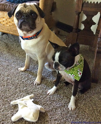 Pug and Boston terrier and dog toys