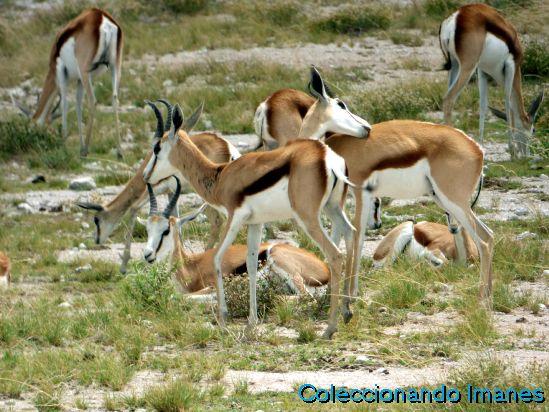 Springboks en Etosha