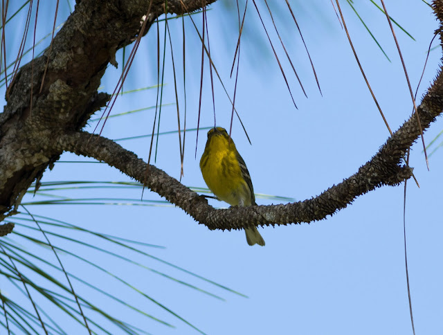 Pine Warbler - Three Lakes WMA, Florida